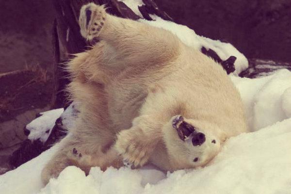 anana-chigaco-orso polare-tuttacronaca