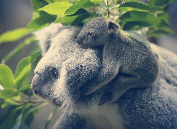 baby-koala-tuttacronaca