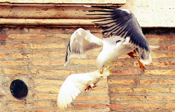 colomba-papa-attacco-gabbiano-corvo-angelus-tuttacronaca