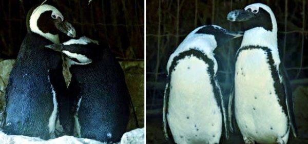 lesbian penguins-tuttacronaca