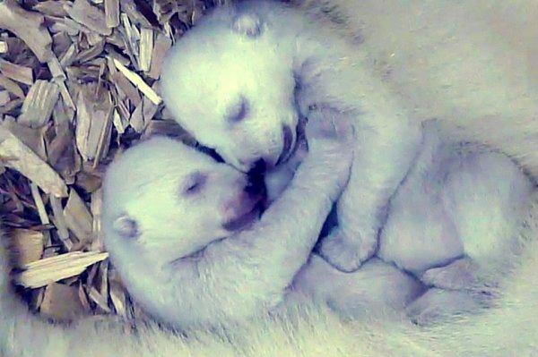 orsi-polari-gemellini-tuttacronaca