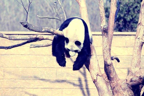 panda-pisolino-tuttacronaca