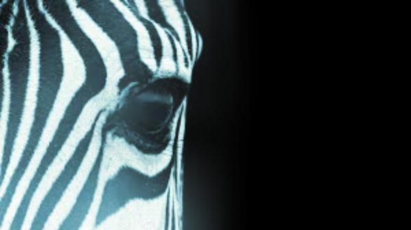 zebra-tuttacronaca