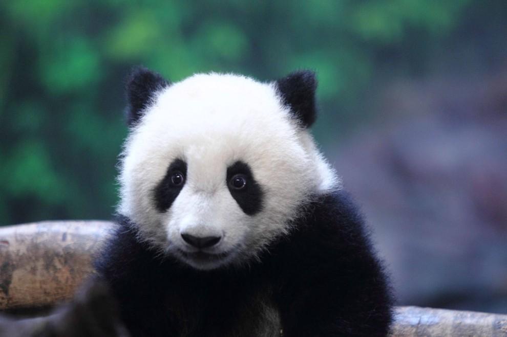 Le foto dei cuccioli di uno degli animali rari pi dolce: il panda - Ecoo 85