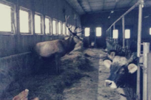 cervo-smarrito-neve-tuttacronaca