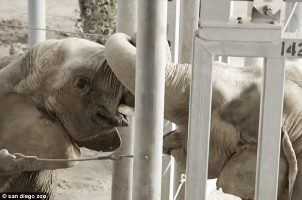 elefanti-amore-tuttacronaca