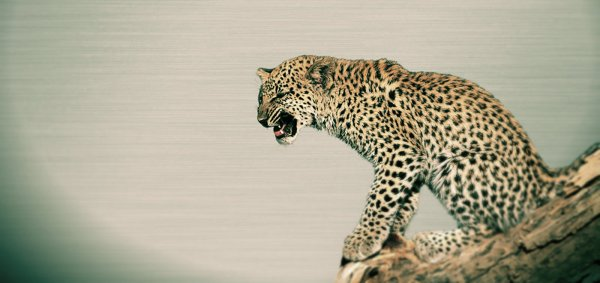 leopardo-bambino-india-tuttacronaca
