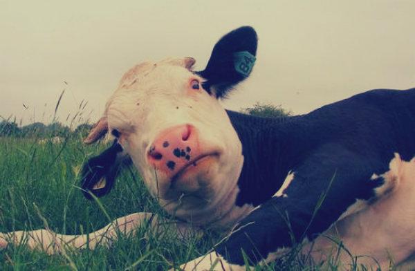 mucca-schiaccia-lavorante-tuttacronaca