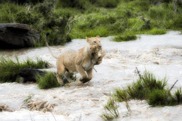 leonessa-cucciolo-tuttacronaca